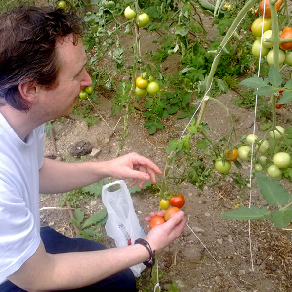 Luceys Good Food Farm collecting tomatoes