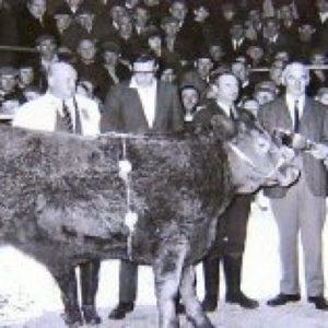Luceys Cattle